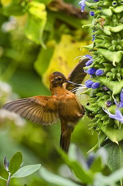Shining Sunbeam (Aglaeactis cupripennis) hummingbird feeding on flower nectar, base of Chimborazo Volcano, Ecuador  -  Pete Oxford