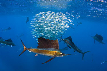Atlantic Sailfish (Istiophorus albicans) group hunting Round Sardinella (Sardinella aurita), Isla Mujeres, Mexico  -  Pete Oxford