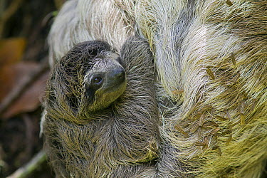Brown-throated Three-toed Sloth (Bradypus variegatus) mother and newborn baby, with algae and moths in fur, Aviarios Sloth Sanctuary, Costa Rica  -  Suzi Eszterhas