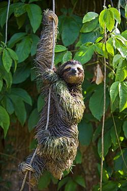 Brown-throated Three-toed Sloth (Bradypus variegatus) male covered in algae climbing down vine, Aviarios Sloth Sanctuary, Costa Rica  -  Suzi Eszterhas