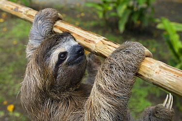 Brown-throated Three-toed Sloth (Bradypus variegatus) six month old orphaned baby climbing on jungle-gym, Aviarios Sloth Sanctuary, Costa Rica  -  Suzi Eszterhas