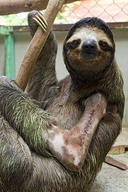 Brown-throated Three-toed Sloth (Bradypus variegatus) young male with stitches in broken arm, Aviarios Sloth Sanctuary, Costa Rica  -  Suzi Eszterhas