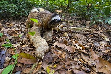 Brown-throated Three-toed Sloth (Bradypus variegatus) male walking on forest floor, Aviarios Sloth Sanctuary, Costa Rica  -  Suzi Eszterhas