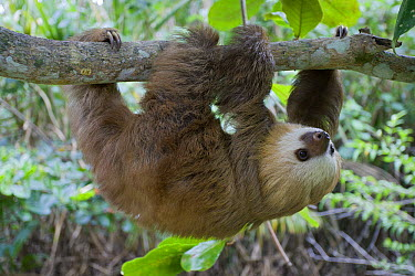 Hoffmann's Two-toed Sloth (Choloepus hoffmanni) six month old orphan in tree, Aviarios Sloth Sanctuary, Costa Rica  -  Suzi Eszterhas