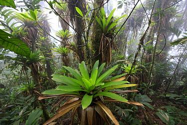 Bromeliad (Bromeliaceae) and tree fern at 1600 meters altitude in tropical rainforest, Sierra Nevada de Santa Marta National Park, Colombia  -  Cyril Ruoso