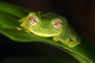 Glass Frog (Centrolene tayrona), Sierra Nevada de Santa Marta, Colombia  -  Cyril Ruoso