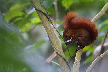 Red-tailed Squirrel (Sciurus granatensis) feeding, Sierra Nevada de Santa Marta, Colombia  -  Cyril Ruoso