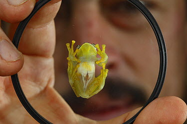 Glass Frog (Centrolenidae) on dish held by researchers, Sierra Nevada de Santa Marta, Colombia  -  Cyril Ruoso