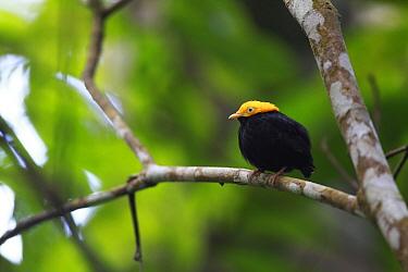 Golden-headed Manakin (Pipra erythrocephala) male, Sierra Nevada de Santa Marta, Colombia  -  Cyril Ruoso