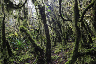 Paramo ecosystem 3000m above sea level with dwarfed trees and mosses, Chingaza National Park, Colombia  -  Cyril Ruoso