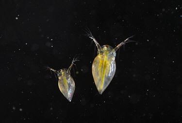 Water Flea (Daphnia sp) pair, England  -  Stephen Dalton