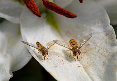 Marmalade Hover Fly (Episyrphus balteatus) pair feeding on lily pollen, England  -  Stephen Dalton
