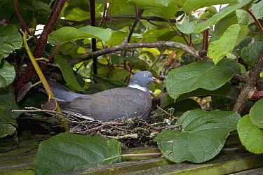 Common Wood-pigeon (Columba palumbus) on nest, England  -  Stephen Dalton