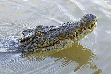 Saltwater Crocodile (Crocodylus porosus) swimming, Northern Territory, Australia  -  Ingo Arndt