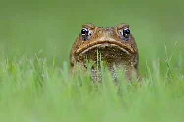 Cane Toad (Bufo marinus), Northern Territory, Australia  -  Ingo Arndt