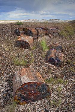 Petrified wood segments from a large tree, Petrified Forest National Park, Arizona  -  Ingo Arndt
