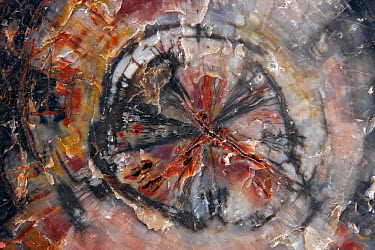 Petrified wood, cut and polished with intricate patterns and colors, Petrified Forest National Park, Arizona  -  Ingo Arndt