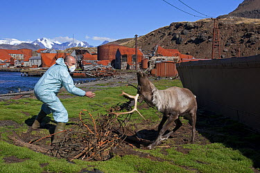 Caribou (Rangifer tarandus) researcher trying to free animal entangled in wire ropes from old whaling station, Leith Harbor, South Georgia Island  -  Ingo Arndt