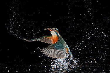 Common Kingfisher (Alcedo atthis) coming out of water with fish, Hessen, Germany  -  Ingo Arndt