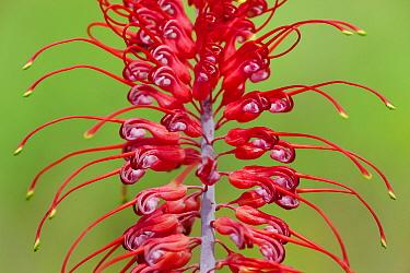 Grevillea (Grevillea dryandri) flower, Kakadu National Park, Australia  -  Ingo Arndt