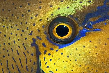 Unicornfish (Naso vlamingii) eye, Great Barrier Reef, Australia  -  Ingo Arndt