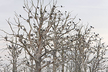 Great Cormorant (Phalacrocorax carbo) colony nesting in dead trees, Mecklenburg-Vorpommern, Germany  -  Ingo Arndt