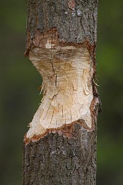 European Beaver (Castor fiber) marks left on tree trunk, Mecklenburg-Vorpommern, Germany  -  Ingo Arndt