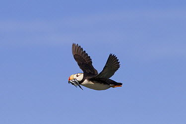 Horned Puffin (Fratercula corniculata) flying with fish in its beak, Lake Clark National Park, Alaska  -  Ingo Arndt