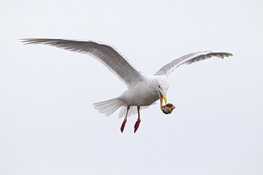 Glaucous-winged Gull (Larus glaucescens) dropping mussel from air to crack the shell and get the meat out, Lake Clark National Park, Alaska  -  Ingo Arndt