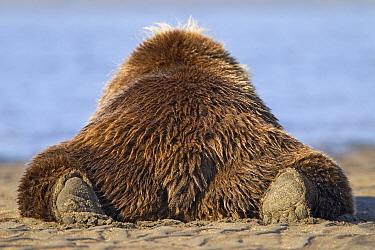 Grizzly Bear (Ursus arctos horribilis) resting on beach, Lake Clark National Park, Alaska  -  Ingo Arndt