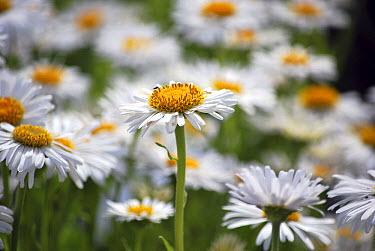 Alpine Aster (Aster alpinus) albus variety flowers  -  VisionsPictures