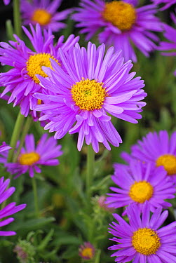Alpine Aster (Aster alpinus) happy end variety flowers  -  VisionsPictures