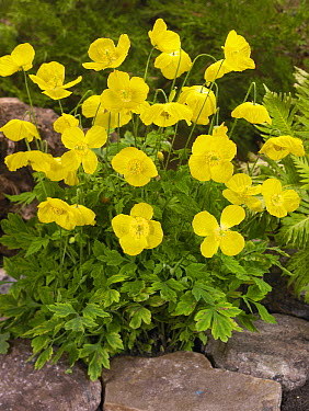 Welsh Poppy (Meconopsis cambrica) flowers  -  VisionsPictures