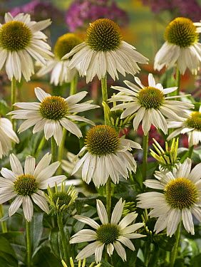 Coneflower (Echinacea sp) kims mop variety flowers  -  VisionsPictures