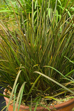 Tukauki (Libertia ixioides) taupo sunset variety  -  VisionsPictures