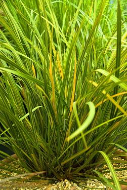 Tukauki (Libertia ixioides) goldfinger variety  -  VisionsPictures