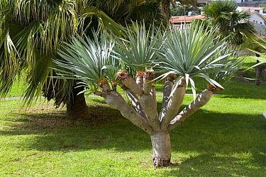 Canary Island Dragon Tree (Dracaena draco)  -  VisionsPictures