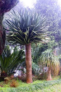 Dragon Tree (Dracaena sp) draco variety  -  VisionsPictures