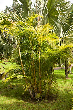 Areca Palm (Dypsis lutescens)  -  VisionsPictures