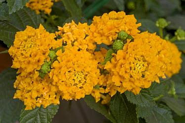 Lantana (Lantana sp) lucky pure gold variety flowers  -  VisionsPictures