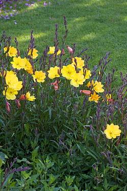 German Evening Primrose (Oenothera biennis) flowers  -  VisionsPictures