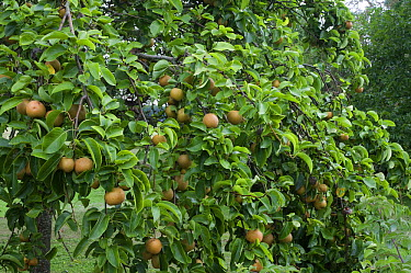 Asian Pear (Pyrus pyrifolia) nashi variety fruit  -  VisionsPictures