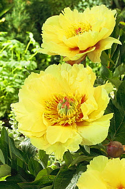 Peony (Paeonia sp) garden treasure variety flowers  -  VisionsPictures