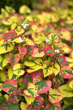 Chameleon-plant (Houttuynia cordata) chameleon variety  -  VisionsPictures