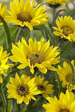 Purpledisk Sunflower (Helianthus atrorubens) flowers  -  VisionsPictures