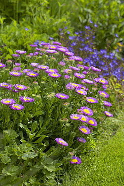 Alpine Fleabane (Erigeron alpinus) flowers  -  VisionsPictures