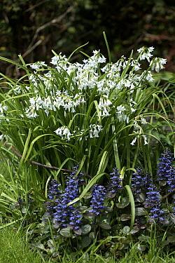 Three-cornered Leek (Allium triquetrum) flowers  -  VisionsPictures