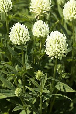 Clover (Trifolium sp) flowers  -  VisionsPictures