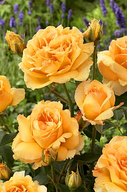 Rose (Rosa sp) solo mio renaissance variety flowers  -  VisionsPictures