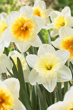Daffodil (Narcissus sp) ice follies and slim whitman variety flowers  -  VisionsPictures